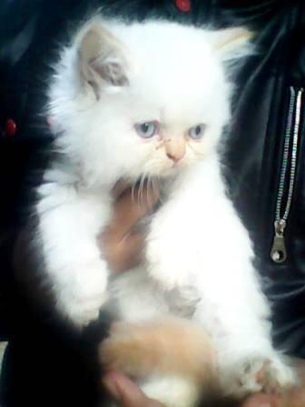 kucing persia super longhairr kitten redpoint flatnose lucuuuuu