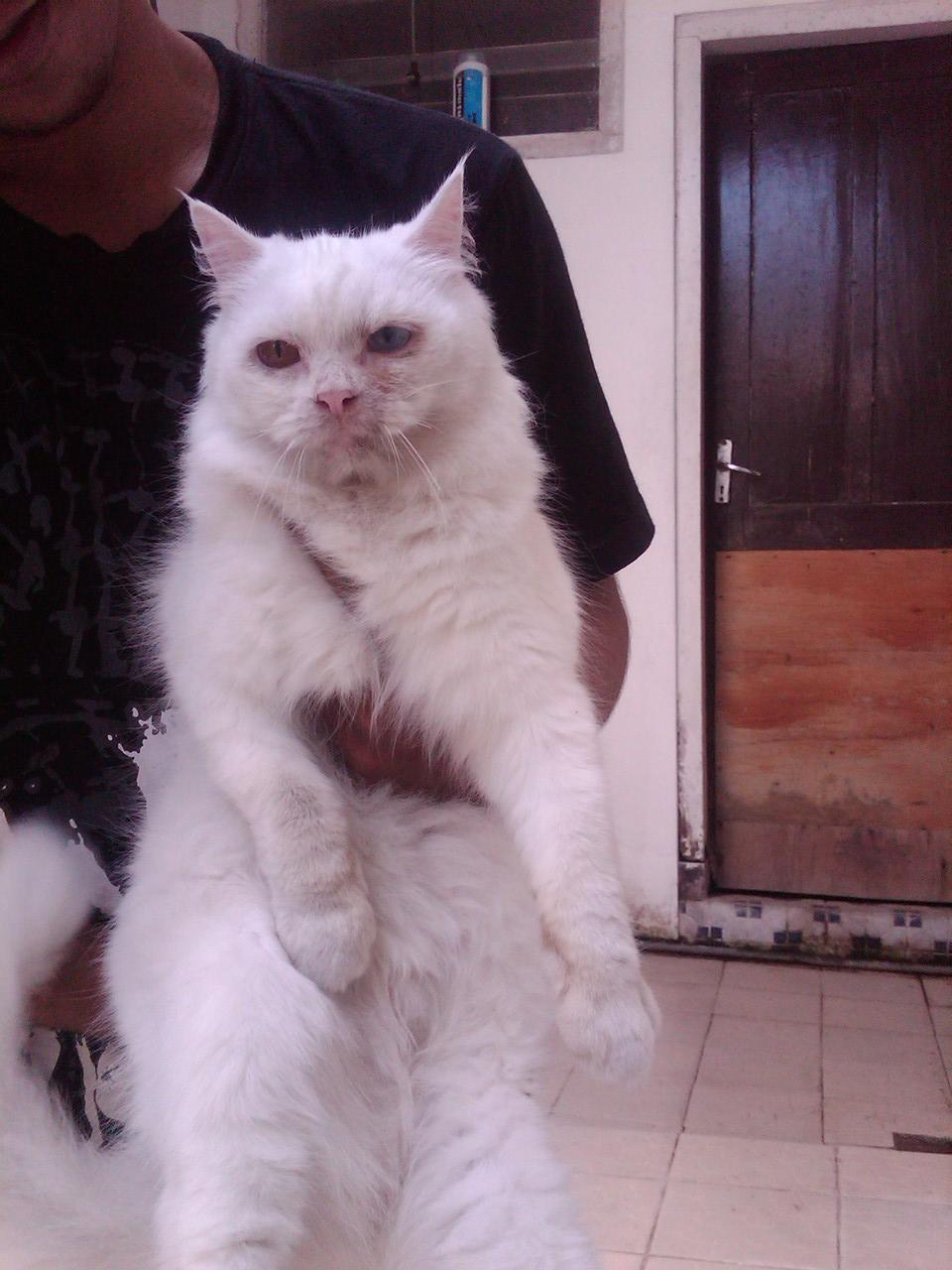 Kucing Persia Betina Indukan Odd eye...