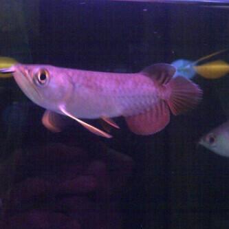 Aquarium ikan arwana golden reed mahato 11cm