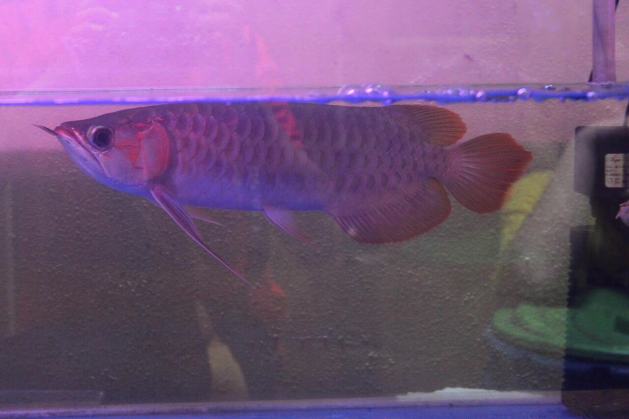 Aquarium ikan arwana super red 35cm