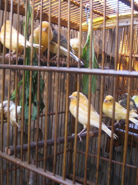 7 ekor Anak Kenari RAD Cimahi - Bandung