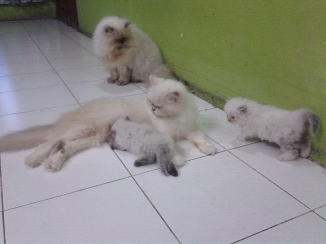 Jual Kucing Kitten Tangerang Himalaya