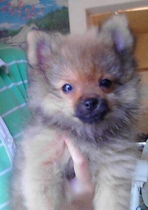 Dijual Pomeranian Cute!