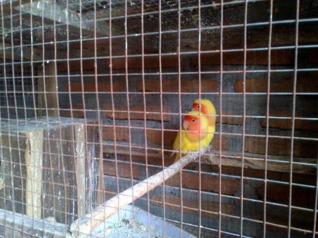 lovebird lutino mata merah sepasang indukan