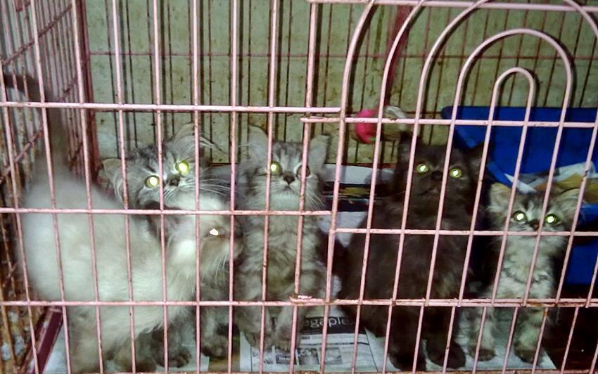 Kitten flat nosehimalayan dan Kitten maincoon import