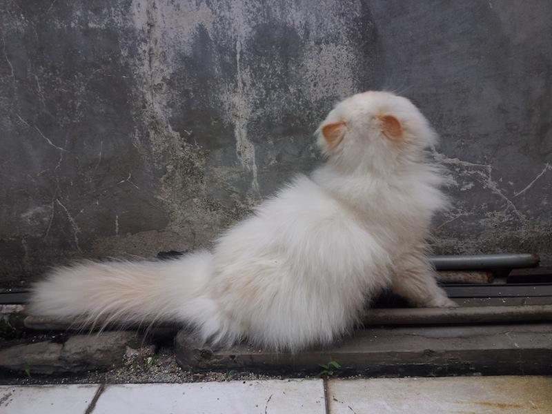 Kucing PERSIA PEKENOSE EXTREME cream point [Bandung]