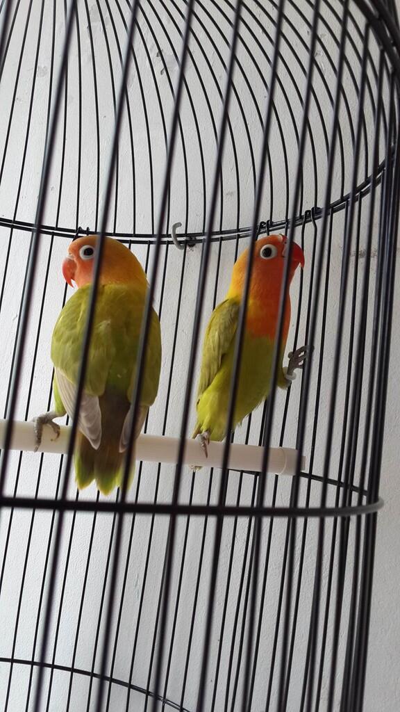 WTS Lovebird Pasjo Dan Pasbir