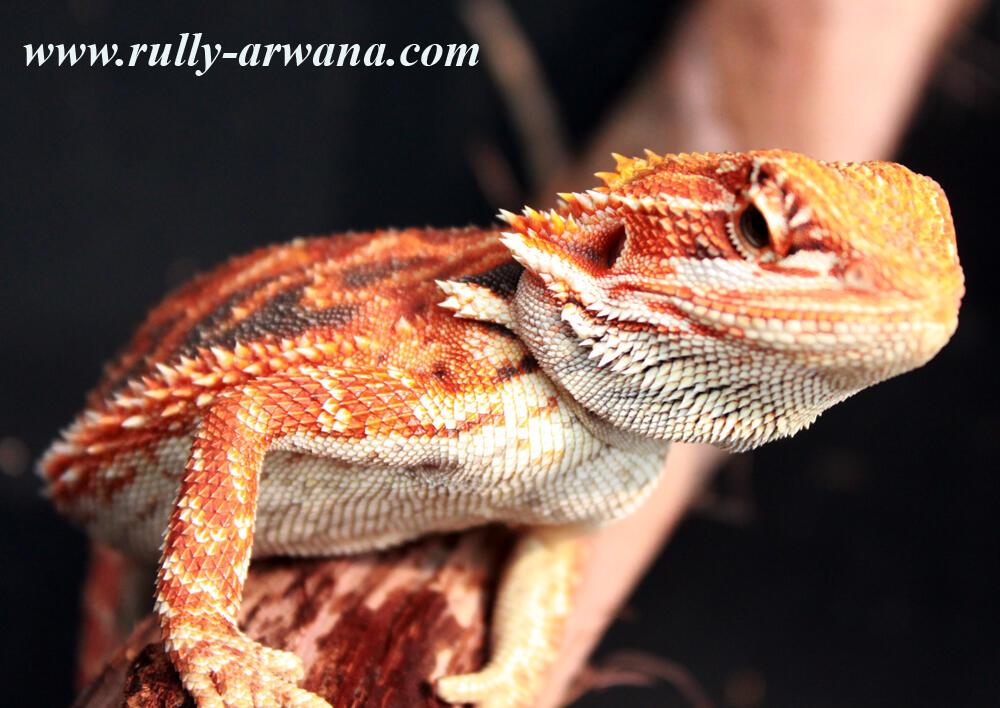 Bearded Drogon
