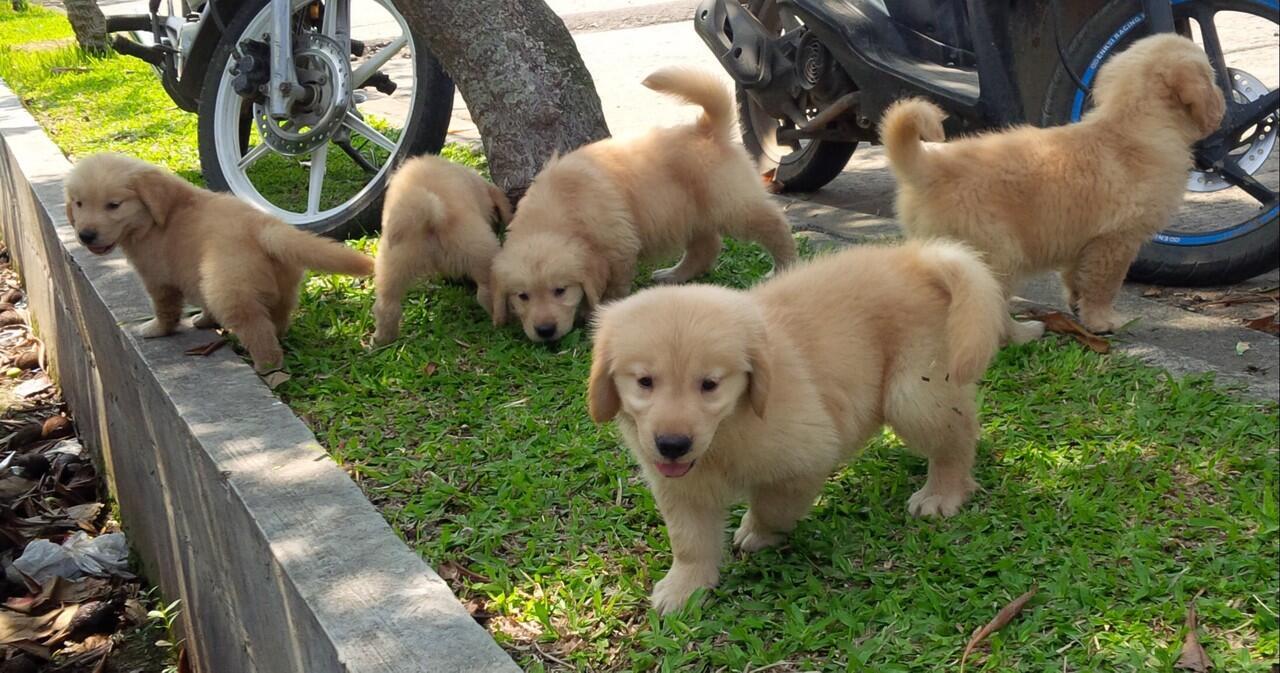 Golden retriever puppies Champion Import bloodline