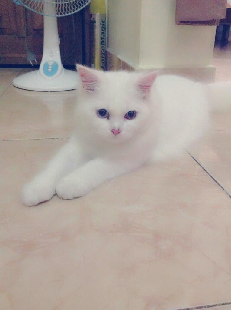 Jual Kucing Persia Semi Anggora Umur 8 Bulan
