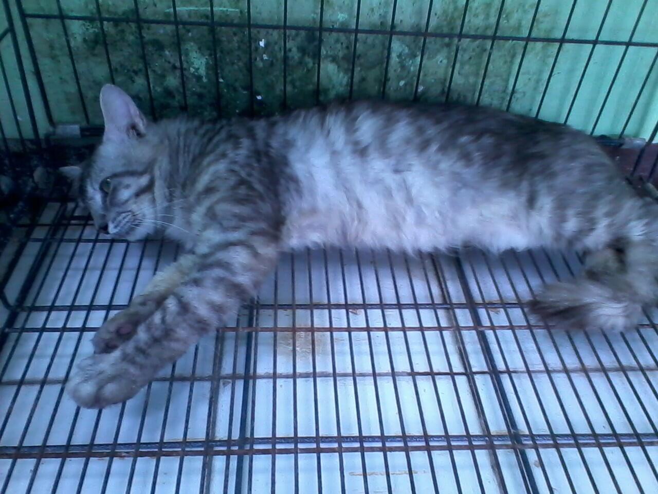 Kucing anggora mix mainecoon