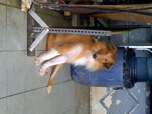 WTS ANJING COLLIE/LASSIE