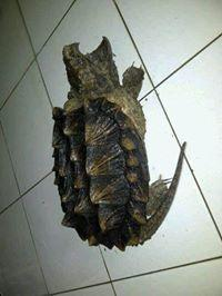 Alligator Snapping Turtle (AST)