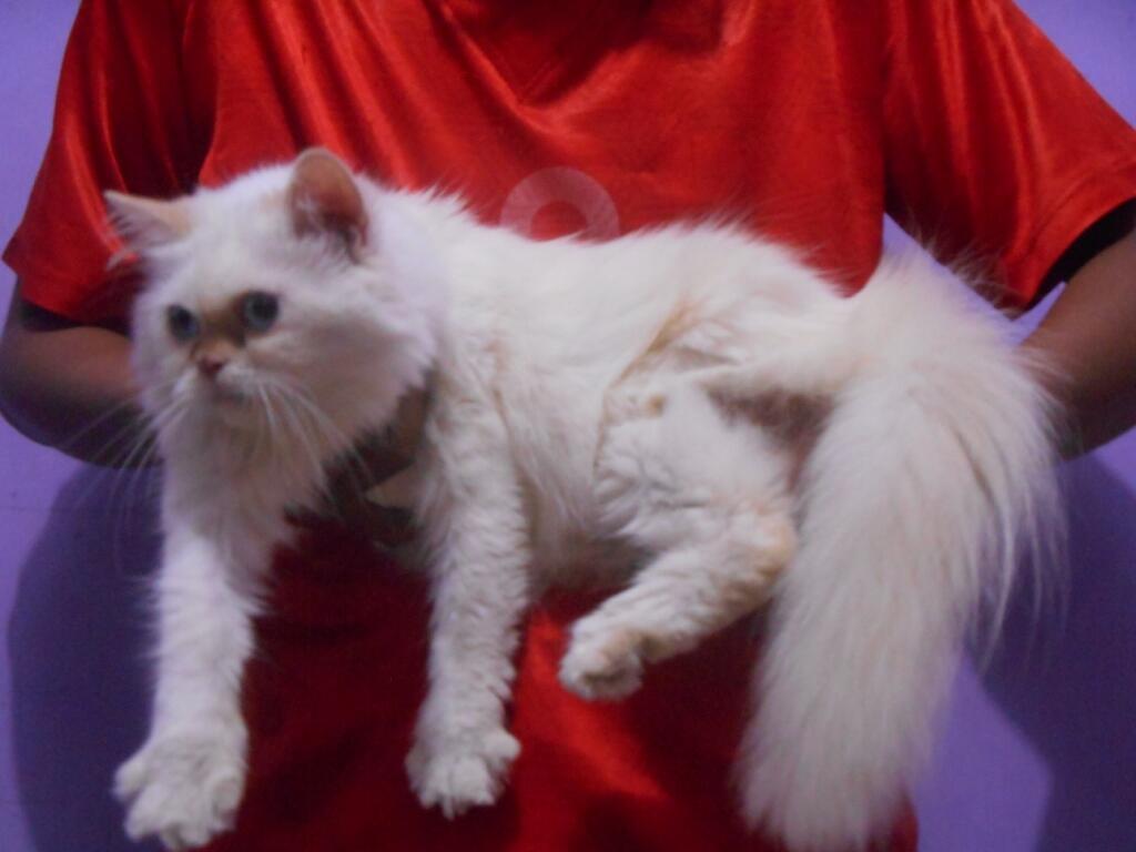 Kucing Persia Flatnose Longhair Cantiiik Dan imuuutt (Bekasi)