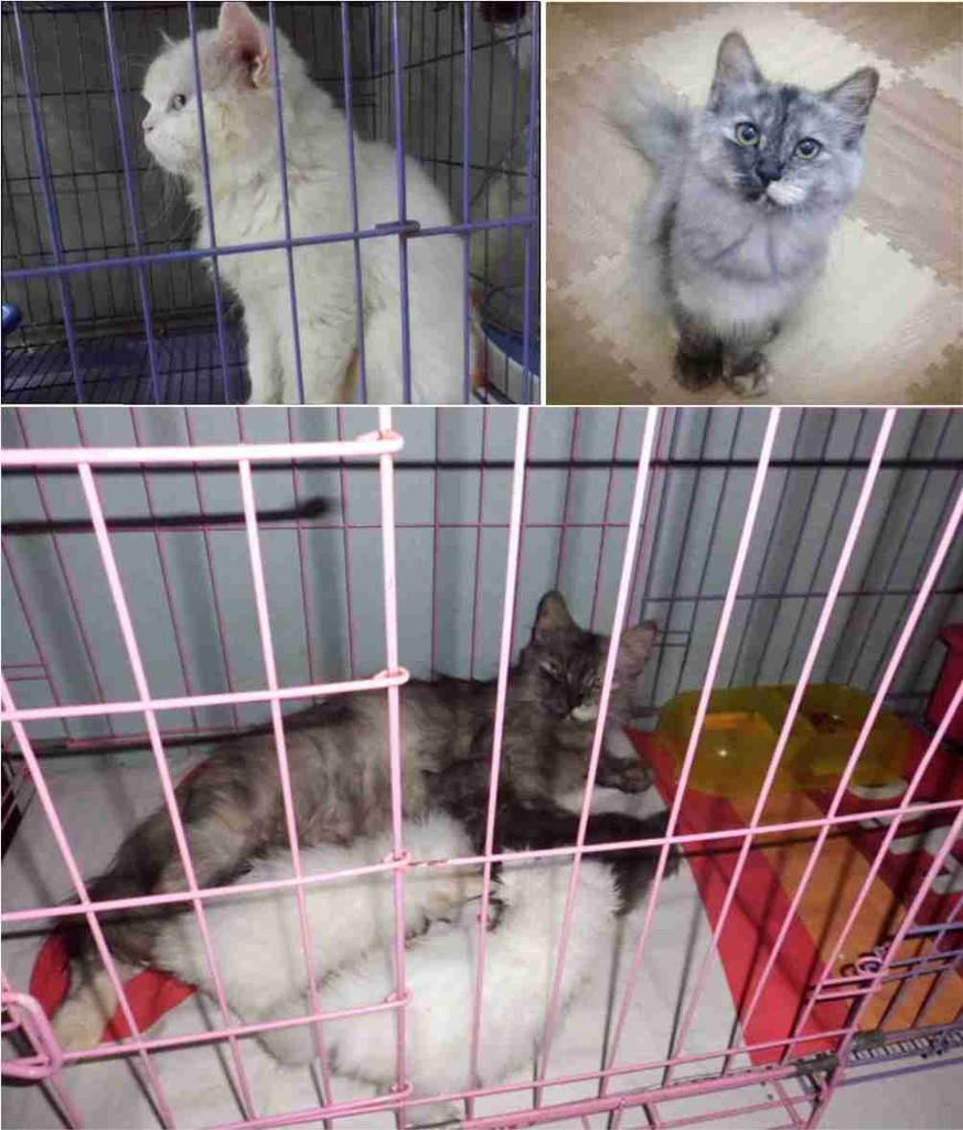 Kucing Persia 4 Ekor