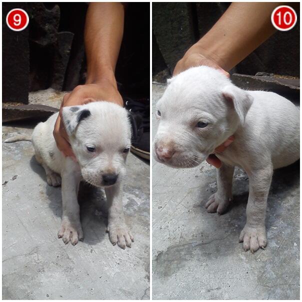 WTS Anak Anjing Pitbull