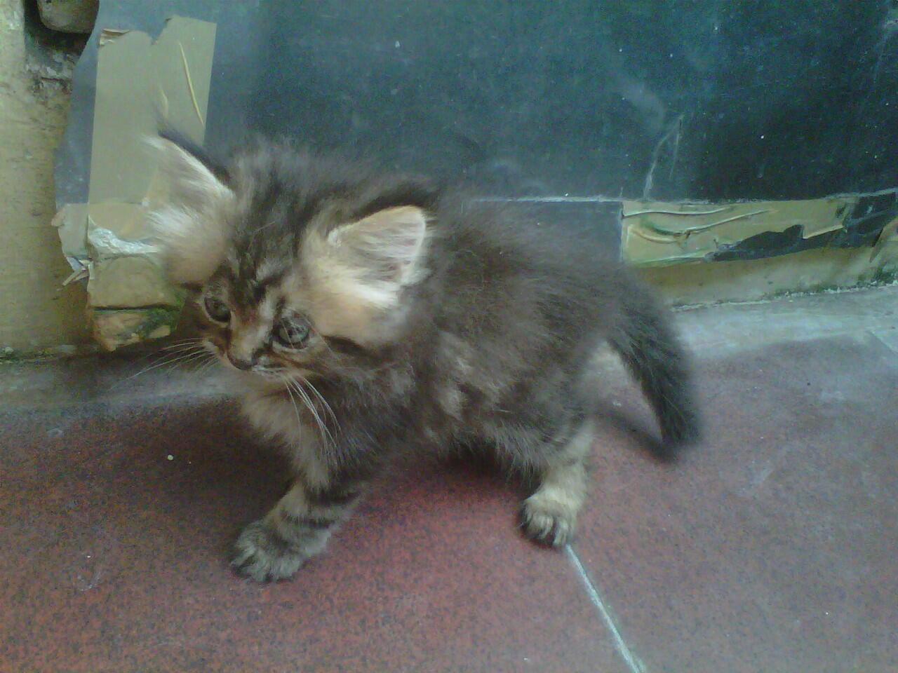 kuicing persia kitten murah