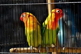 Jual lovebird (Sepasang'Jantan-Betina)