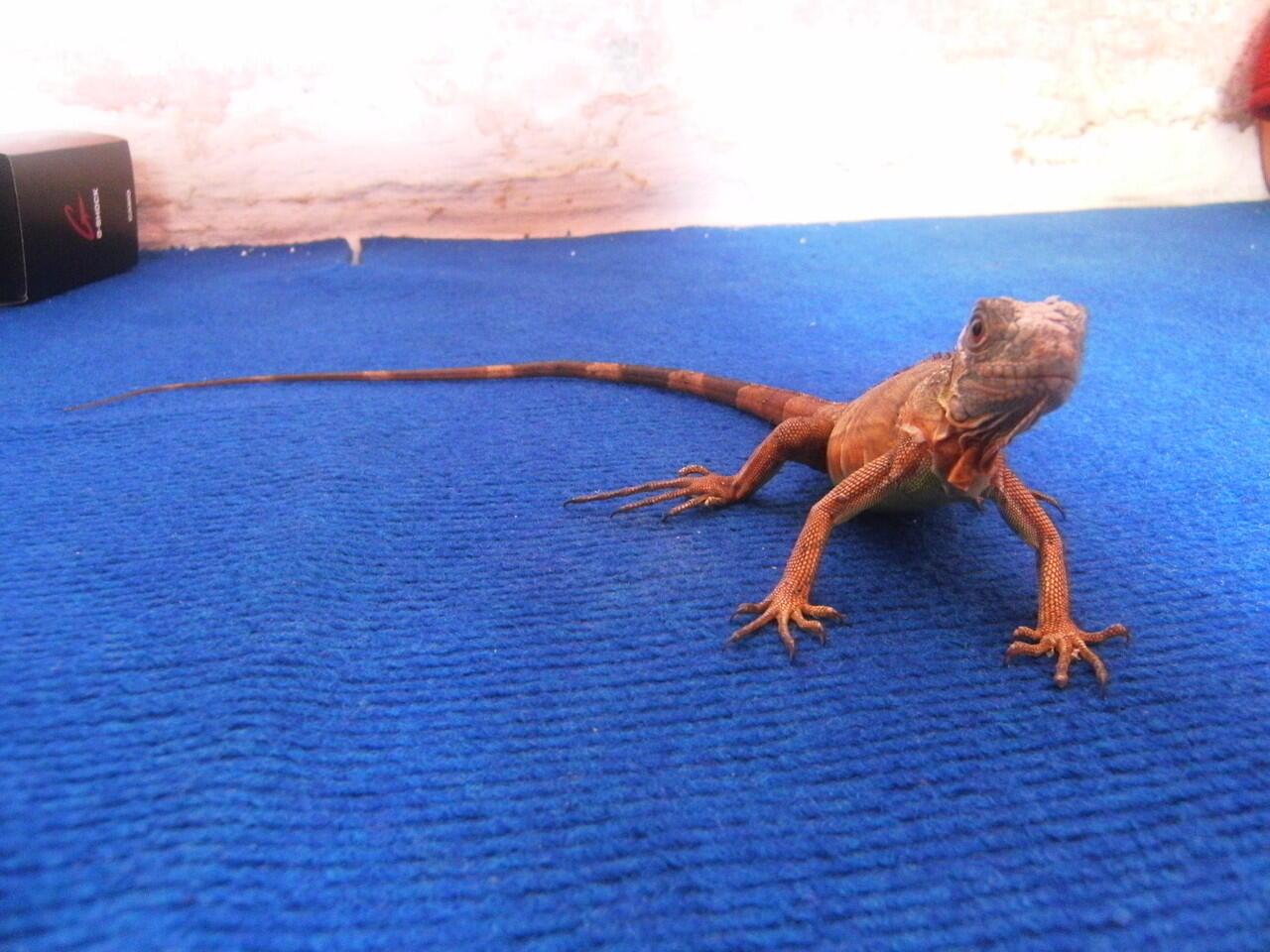 Baby Red Iguana -+43Cm Jogja Murah @700K 081802627785 / 31690DC4
