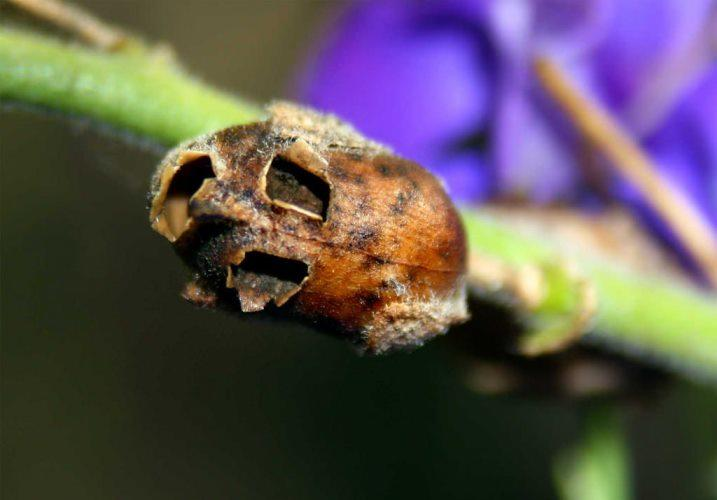 ~๑๑.Keunikan Bentuk Bunga Snapdragon.๑๑~[MIRIP APA YA?]