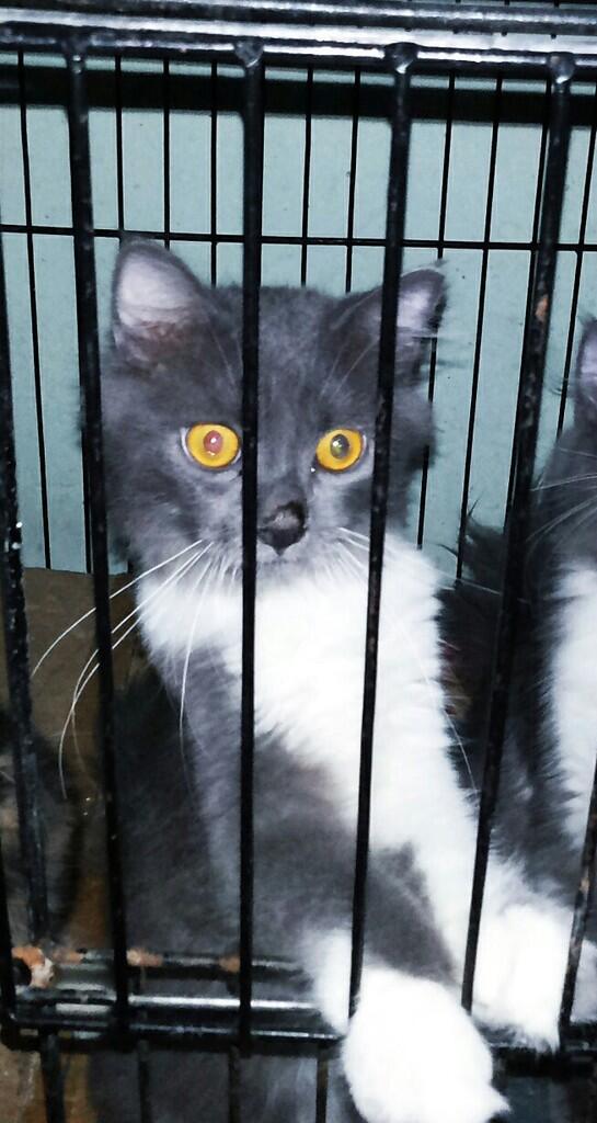 Kitten Persia Medium Betina dan Jantan Longhair