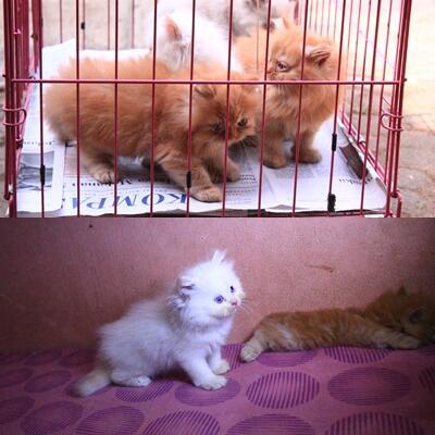 Ready Adopt Kitten-Kitten Persia Medium Jantan ( Purwakarta )