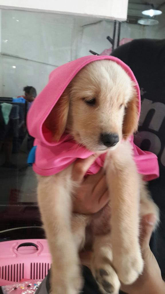 dijual puppy golden retriver,murah agan