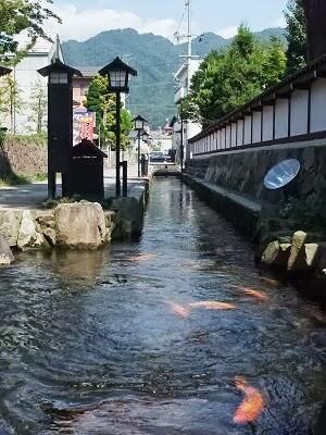 Wow! Di Jepang, Ikan Koi Biasa Hidup Bebas di Got