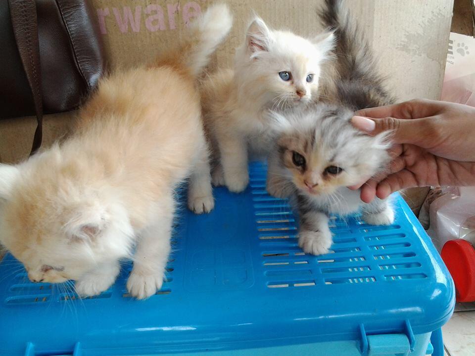 Download 93+  Gambar Anak Kucing Persia Dan Harganya Paling Bagus Gratis