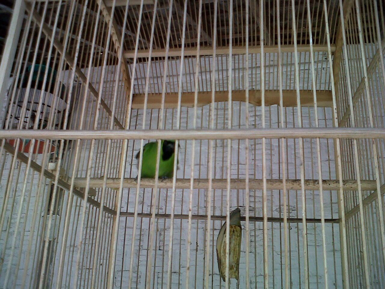 Murai Lampung Super dan Cucak Ijo