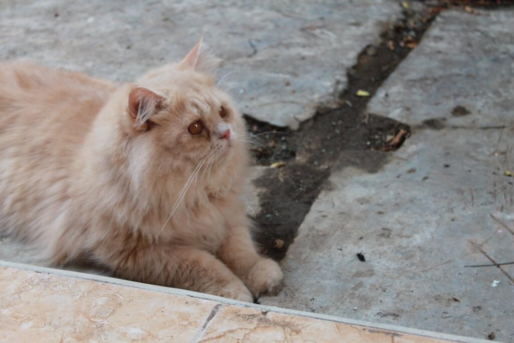 pemacakan kucing bergaransi (posisi bekonang)