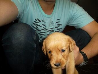 Jual doggy campur sari, Golden retriever mix (Golden+Lambrador), anjing mix