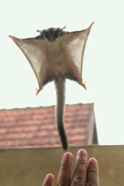 Mengenal Lebih Dekat Dengan Sugar Glider hewan Exotic asal Indonesia