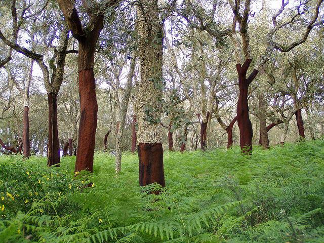 Berbagai Manfaat Mengagumkan dari Kulit Pohon Ek Gabus