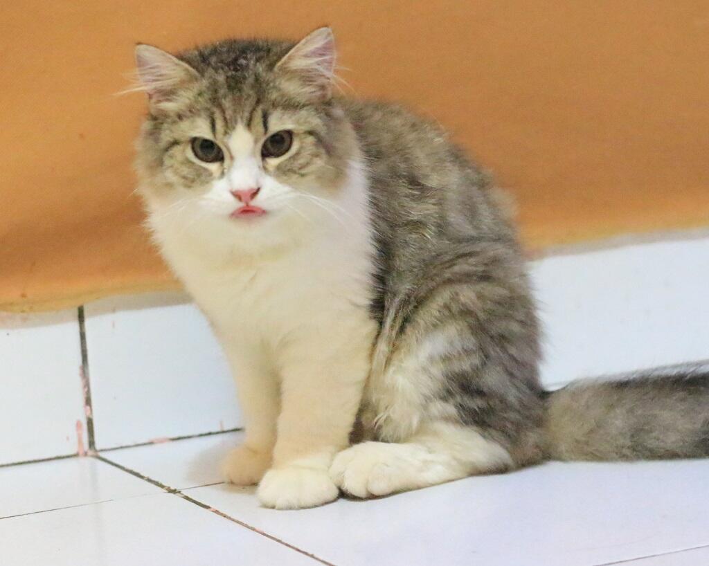 Kucing Persia Jogja plus Kandang Perlengkapan dll