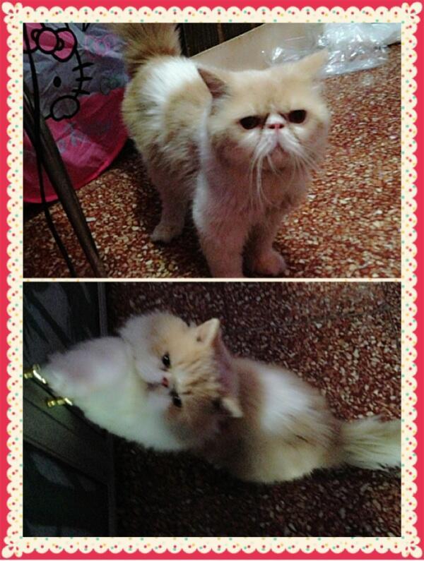 Pacak kucing persia peaknose murah