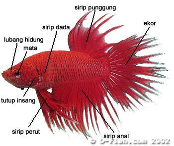 Cara Melatih Ikan Cupang Kontes Kaskus