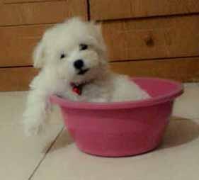 Puppy Maltese Di Jual cepat