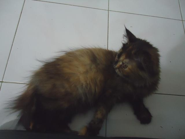 jual kitten persia medium