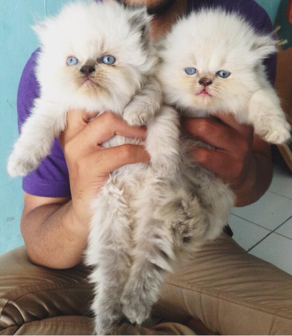 Jual Kucing persia kitten flatnose sealpoint lucu lokasi Bandung murah