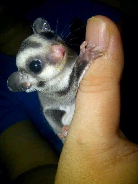 FOR SELL SUGAR GLIDER JOEY CB TERNAK UMR 1,5 BULAN ( JKT ONLY )
