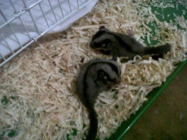 FOR SELL SUGAR GLIDER FRESH DR INDUKAN CB MURAH N JINAK ( JKT ONLY)