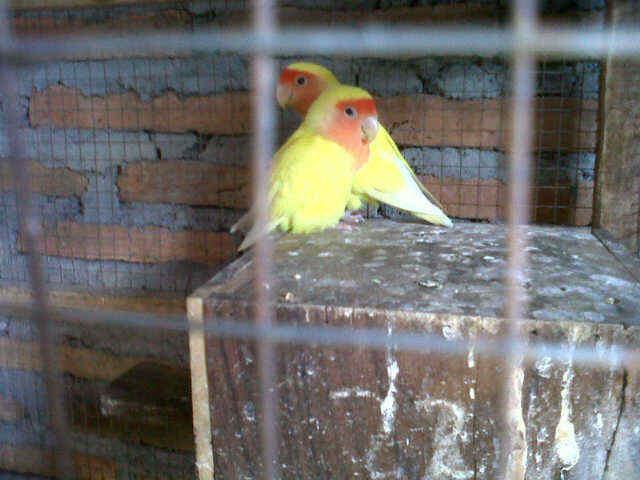 LOVE BIRD LUTINO MATA MERAH