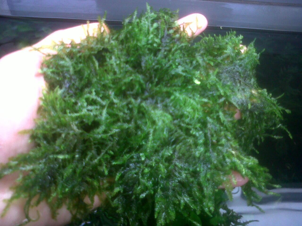 Asuascape Plant