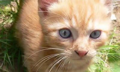 10 Ras Kucing Domestik Paling Langka Di Dunia