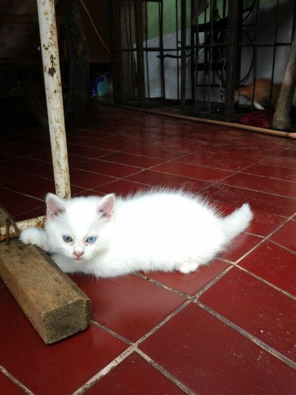 Terjual Kitten Anak Kucing Persia Odd Eye Warna Mata