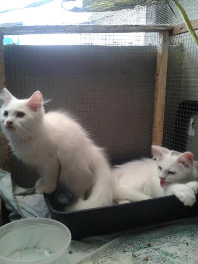 WTS kitten kucing Persia