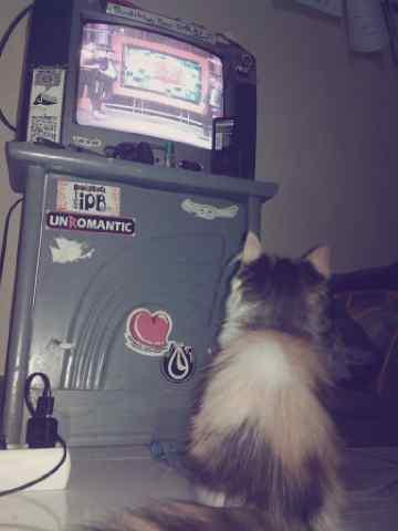 WTS (JUAL) kucing anggora bulu panjang (long hair) sehaaatt (butuh cepat)
