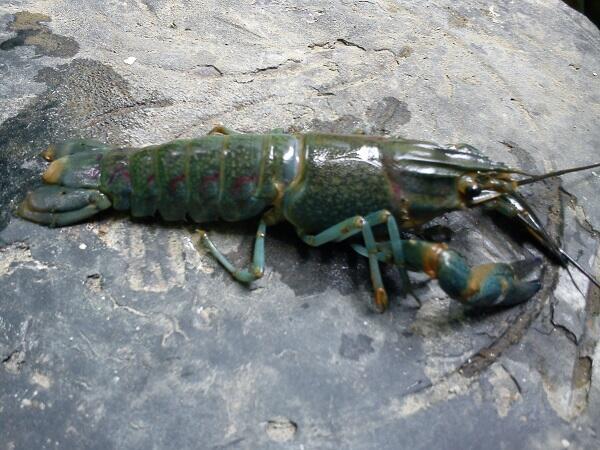 Di jual sidat komsumsi tawar. biasa/marmorata dan lobster air tawar