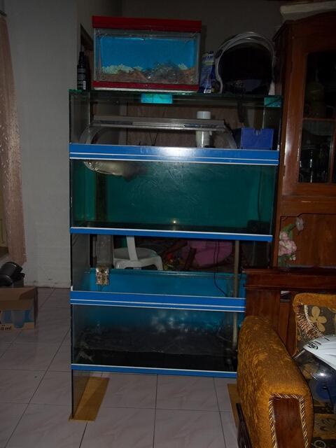 Cari ikan arwana pino plus aquarium tingkat jogja   KASKUS